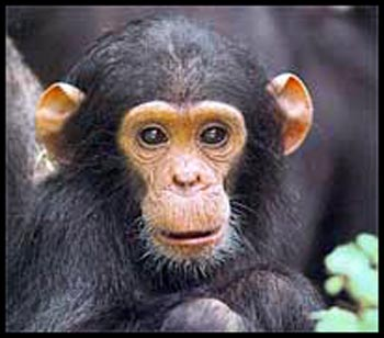 chimp ears