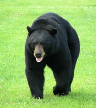 black-bear-0012.jpg